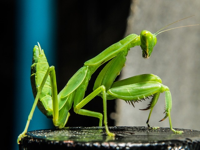 praying-mantis-190189_640.jpg